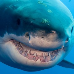 Something in the Ocean is Eating Great White Sharks