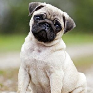 The Most Dangerous Dog Breeds - 18 ferocious dogs posing beside their beware of dog signs